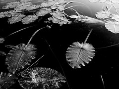 Lily pads (andyscamera) Tags: blackandwhite ontario canada flora swamp lilypads critique tds andyscamera kennisis haliburtoncounty
