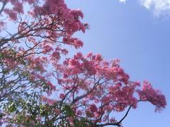 Flores do Ipe nilceia Gazzola 01 (nilgazzola) Tags: brasil de foto sp fotos ou com nil minhas tirada maquina echapora gazzola nilgazzola