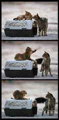 How 'bout A Kiss.... NOT! (Troy Snow) Tags: cat nikon kitty gato nikkor sequence soe catrescue kotik photoschmuck lolcats impressedbeauty impressedbyyourbeauty pahrumpcats howboutakiss thegreatkittyrescue photobytroysnow