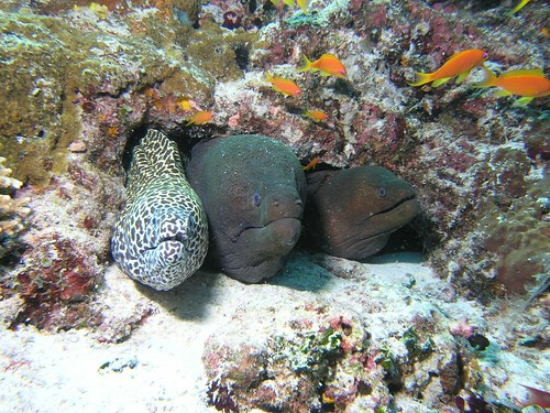 Moray Eel Size Moray Eels Muraenidae