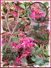 Flowers and buds of 'Sizzling Pink' Loropetalum emerged a week after a hard pruning. Taken on September 25, 2007