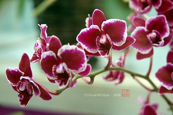 2009台北國際花卉展之蘭花01