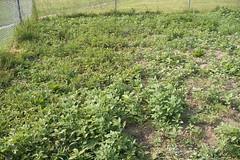 Ontario Garden Weeds