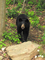 Black Bear at Aerie, July 4, 2007