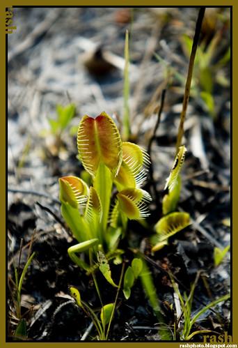 carnivorous_plants_003.jpg