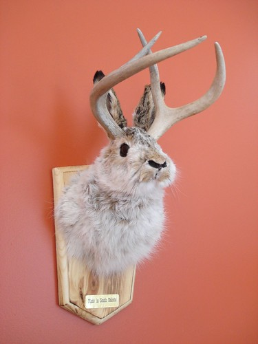 headmount jackalope, the horned rabbit of folklore