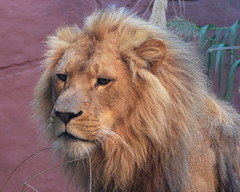 I'm touched by Christian the Lion Story [video]