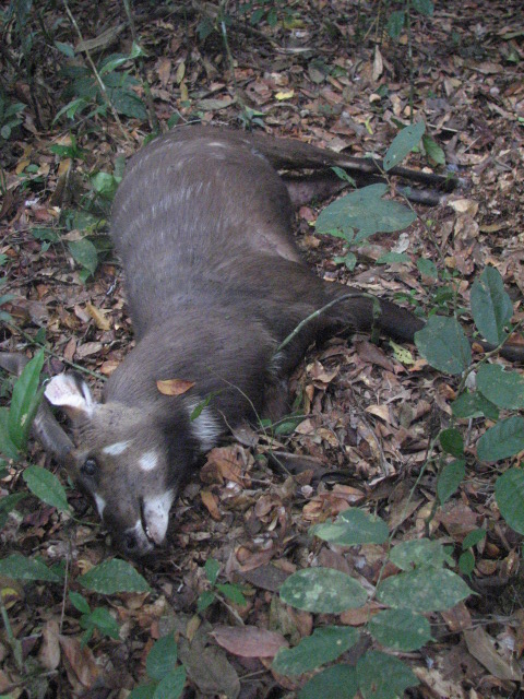 A dead Sitatunga in the Lomami-Lualaba forest