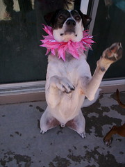 bongo ... yes .. in a pink collar (SammyBlot) Tags: pink dog bongo collar beg