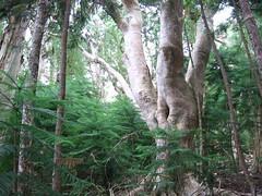 IMG_2652 (dacky2) Tags: trees hawaii bigisland waipio