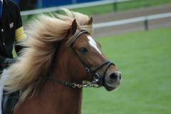 hbscher kopf (lena & pferde) Tags: horses holland sommer wm wk 2007 icelandic islandpferde