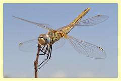Sympetrum fonscolombii (PheCrew) Tags: macro insect bugs libellula phe soken odonato macrolife