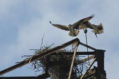osprey-nest-Ballard_Locks (Drumm Photography) Tags: seattle bird beach washington wildlife hunting raptor magnolia locks ballard predator behavior osprey hunt pandionhaliaetus