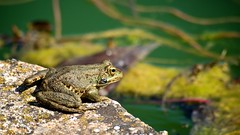 Frogger: Off the streets and out of the water (RobertFrancis) Tags: closeup spain nikon dof frog alhambra granada d90 sigma70300mmf456apomacrosuperii andalucia