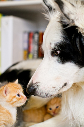 cute border collie dog and ginger kitten
