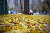 Carpet of leaves (Rafakoy) Tags: pictures street city autumn winter ny newyork color colour tree fall cars colors leaves car yellow digital season carpet photo leaf colours with image photos picture taken images iso queens sample woodside tress afsnikkor18105mmvr nikond7000