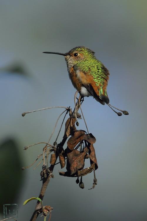 Allen's Hummingbird 111510