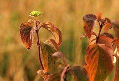 Nov 3rd dof (saxonfenken) Tags: november autumn brown plant leaves dof superhero fc wildflower 288 gamewinner nov3rd fotocompetitionbronze herowinner pregamewinner 288tree