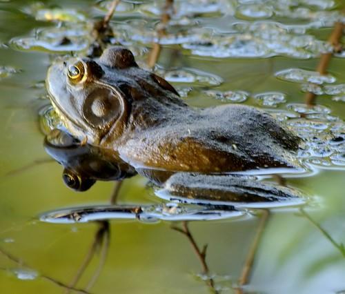 Bull Frog, courtesy dbarronoss on Flickr