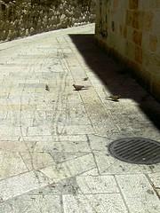 pigeons (olempert) Tags: city animals israel jerusalem oldcityofjerusalem