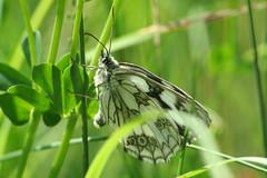 Marbled White/ Demi-deuil (SpUtNik 23 -RUR und MKZ) Tags: macro butterfly belgium belgique papillon insecte hainaut melanargiagalathea terril marbledwhite demideuil souvret ishflickr sixperrier