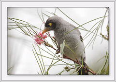 Noisy Miner and Grevillea Flower (Barbara J H) Tags: bird nature fauna wildlife australia qld grevillea australianbirds australianwildlife noisyminer maroochydore naturesfinest manorinamelanocephala birdsofaustralia supershot australianfauna featheryfriday wildlifeofaustralia superbmasterpiece beyondexcellence auselite faunaofaustralia
