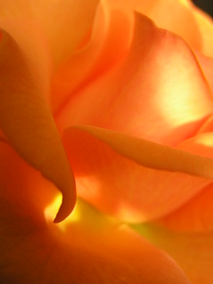 my orange rose III