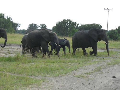 Uganda - QENP Elephants Big Group 2