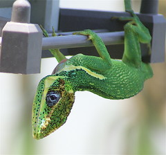 Ummm...so what seems to be the problem? (MrClean1982) Tags: green nature florida birdfeeder lizard fortlauderdale anole broward naturesfinest outstandingshots challengeyouwinner sonyalphadslra100 anawesomeshot impressedbeauty