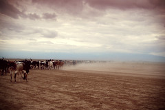They storm in (no knock) (dailydolores) Tags: sky sand crossing desert cows kenya dust masai amboseli dailydolores