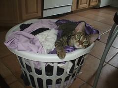 DSCF0744 (fadingembers) Tags: animals kitties bruiser bigpurplehouse