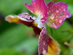 Pansy And Drops - by audreyjm529