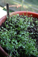 greens seedlings
