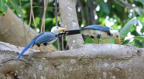 Yucatan Jays