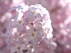 Among the Lilacs (donsutherland1) Tags: flowers ny newyork nature spring blossoms lilac bloom april 1001nights lilacs mamaroneck flickraward flowersarebeautiful awesomeblossoms fleursetpaysages persephonesgarden