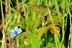 northern blue butterfly on raspberry leaf (manywinters) Tags: blue red summer color green alaska butterfly raspberry northpole bluebutterfly chenafloodcontrolproject