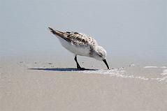 Sanderling (Billtacular) Tags: bird beach newjersey nj stoneharbor capemay facebook sanderling calidrisalba thewonderfulworldofbirds