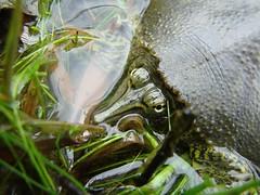 Ouachita Soft Shell (Nola Nate) Tags: lake macro green nature animal river outdoors turtle reptile tortoise arkansas upclose hotsprings ouachita herpetology softshell sandturtle herpatology ibeauty