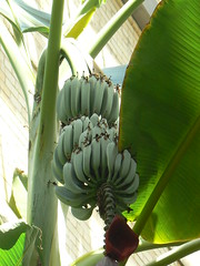 Bananas at US Botanic Garden