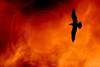 Devotion (Piulet) Tags: red fire libertad fly wings rojo searchthebest free burn alas devotion vermell vol fuego captive ales vuelo foc llibertat piulet flickrdiamond lfs062007