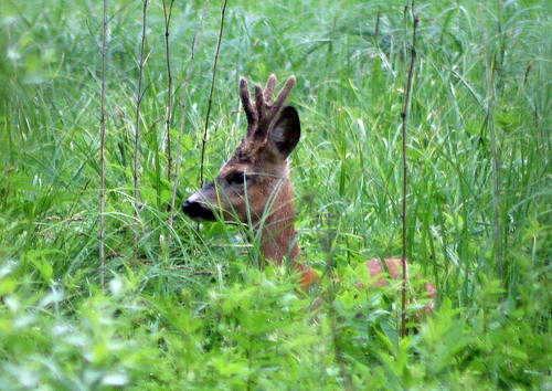 roe deer - young male