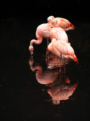 Flamingos (Jule_Berlin) Tags: pink ireland irish catchycolors irland cy breathtaking 2007 jule onblack themoulinrouge naturesfinest fineartphotos challengeyouwinner abigfave cywinner aplusphoto diamondclassphotographer top20pink superhearts exquisiteimage juleberlin