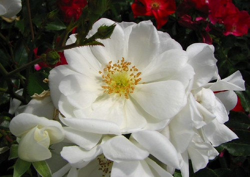 Flower carpet white rose darias world where happy people gather 152 rosa carpet rose wht 071007 photo of flower carpet white mightylinksfo Image collections