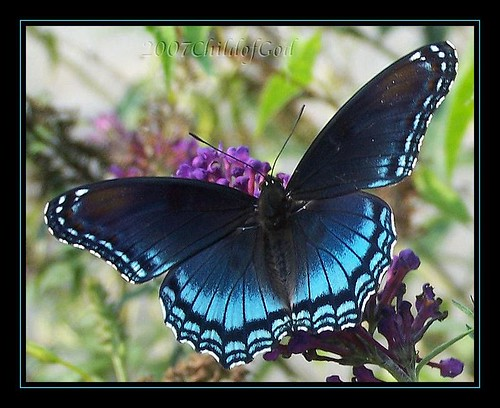 Blue Butterfly ~ REPOST