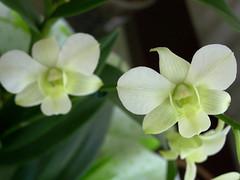 Dendrobium phalaenopsis (barbatum) Tags: orchid dendrobium orquídea dendrobiumphalaenopsis denphal