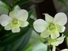 Dendrobium phalaenopsis (habitatbrasileiro.com) Tags: orchid dendrobium orquídea dendrobiumphalaenopsis denphal
