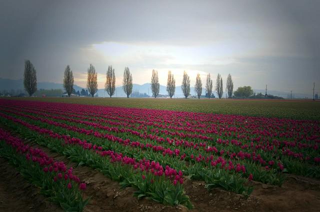 Distant tulips