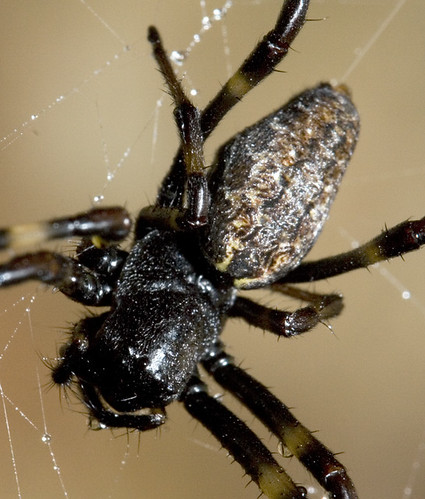 Scariest looking spider - photo#21