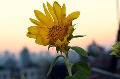 sunflower against east river