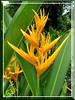 Heliconia psittacorum x spathocircinata 'Golden Torch'